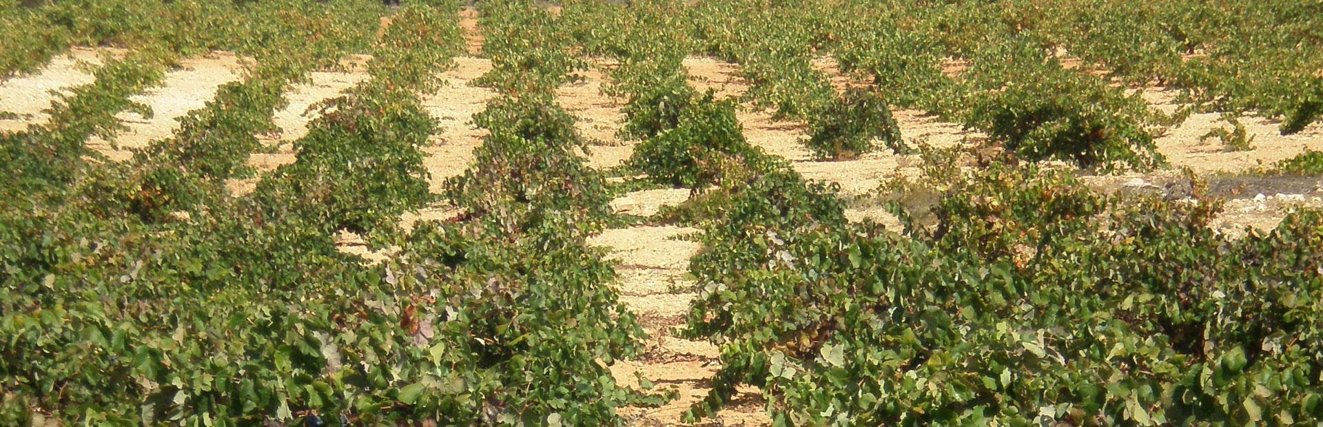 Variedad de uva Pintailla