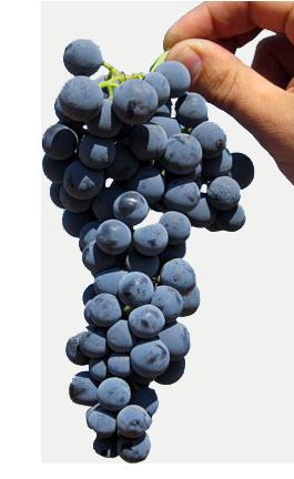 uva variedad bobal