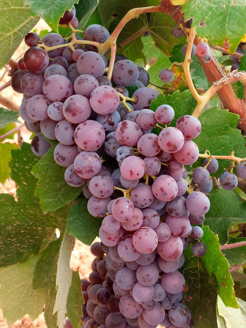 Racimo de uva pintailla